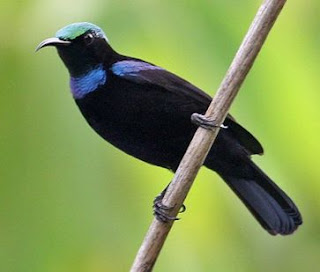 Burung Madu Hitam endemik Indonesia