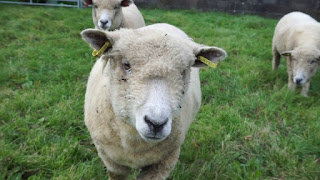 Ryeland Sheep Characteristics, Size, Weight, Milk Production, Price