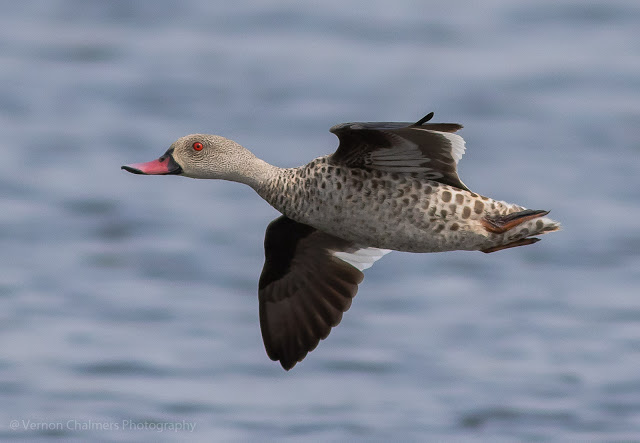 Cape teal duck in flight over the Diep River Woodbridge Island - Low light photography