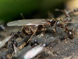 ant queen long living insect