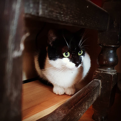 black-and-white cat sitting inside a piece of wooden furniture