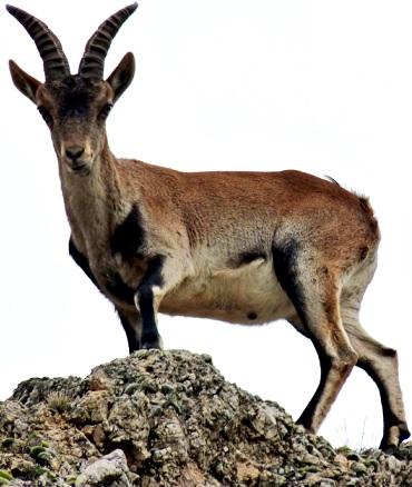 Foto de una cabra parada con grandes cuernos
