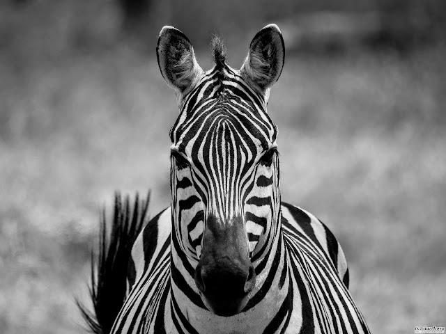 Zebra in B&W