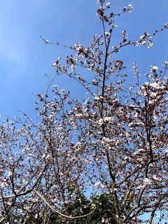 イタリアの桜