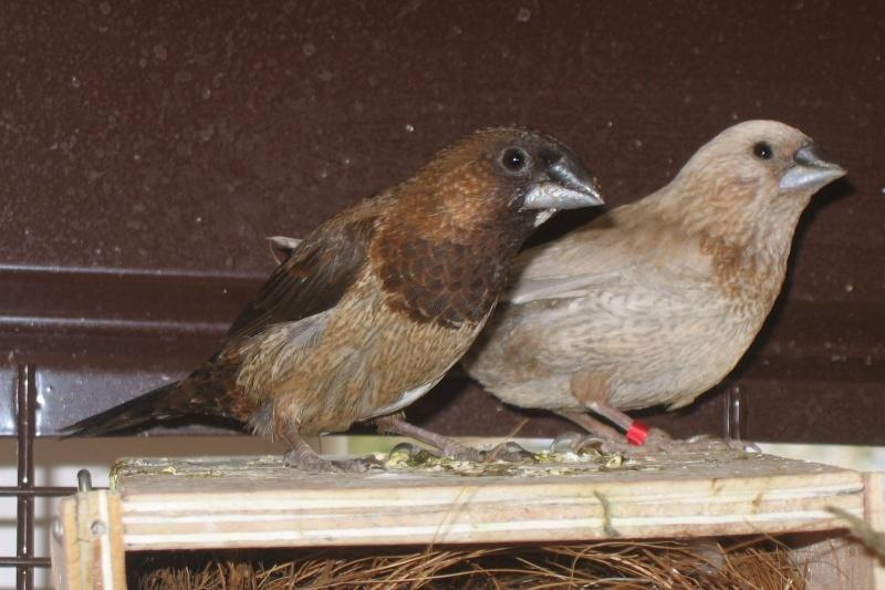 oiseaux mutation a vendre