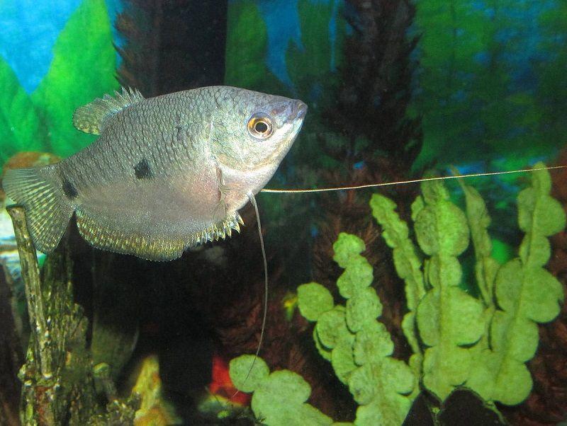 Jenis Ikan Sepat Hias-Ikan Sepat Rawa