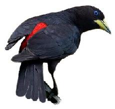 Guaxe, Corrupião e Graúna, Aves da Família Icteridae