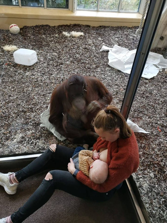 Viral Video of A Breastfeeding Mom's Emotional Encounter With Orangutan At The Oldest Zoo In The World