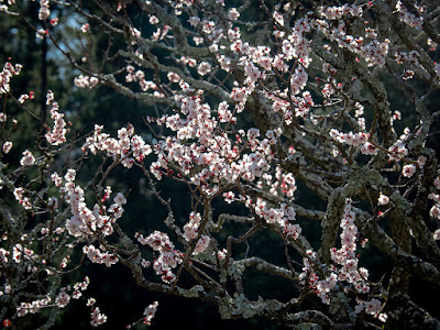 Ume (Japanese apricot) flowers: Tokei-ji