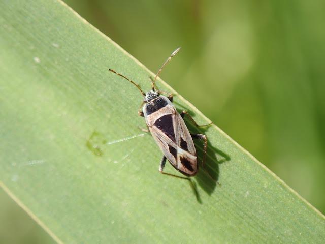 Xanthochilus saturnius