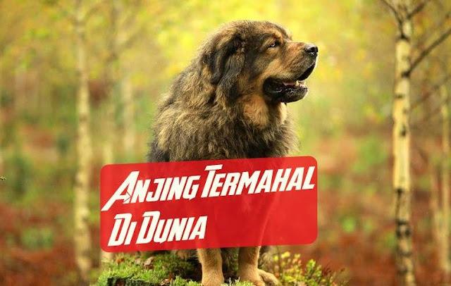 Anjing Termahal di Dunia Tibetan Mastiff