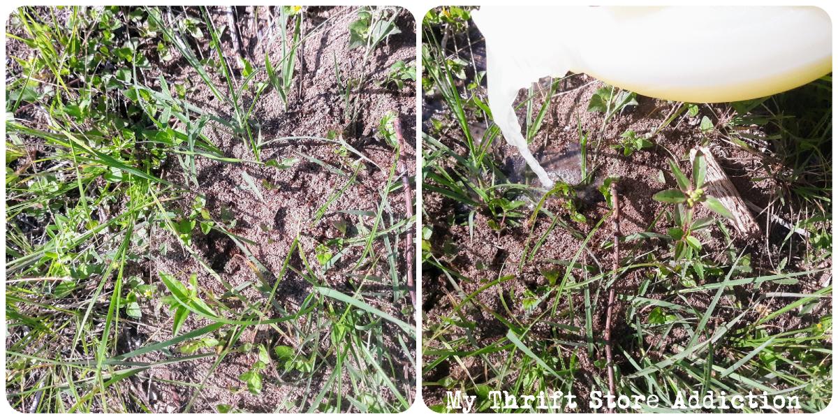 DIY organic fire ant control