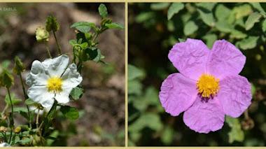 Cistus salviifolius y Cistus creticus. Plantas mediterráneas para jardines de bajo mantenimiento