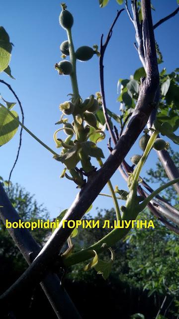 латеральні сорти горіхів