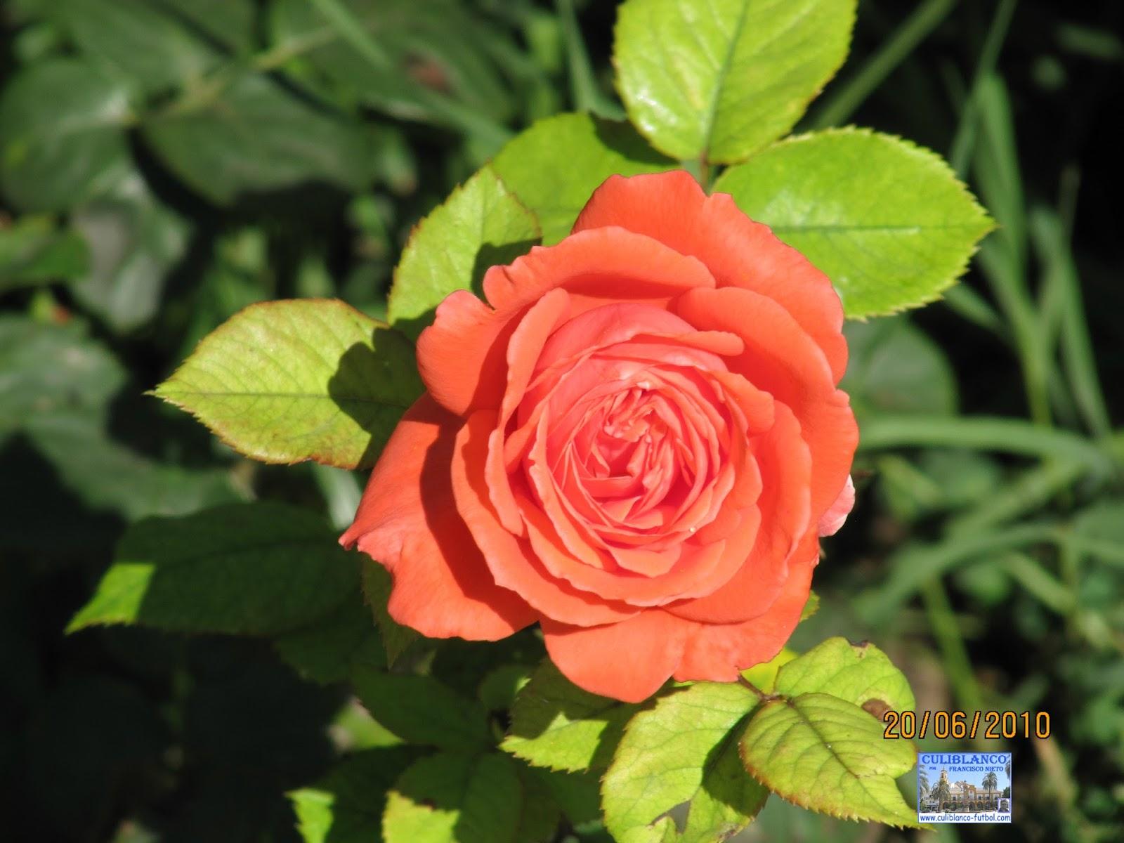 Culiblanco por francisco nieto las rosas flores y - Significado de los colores de las rosas ...