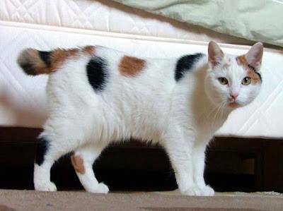 Ras Kucing Japanese Bobtail