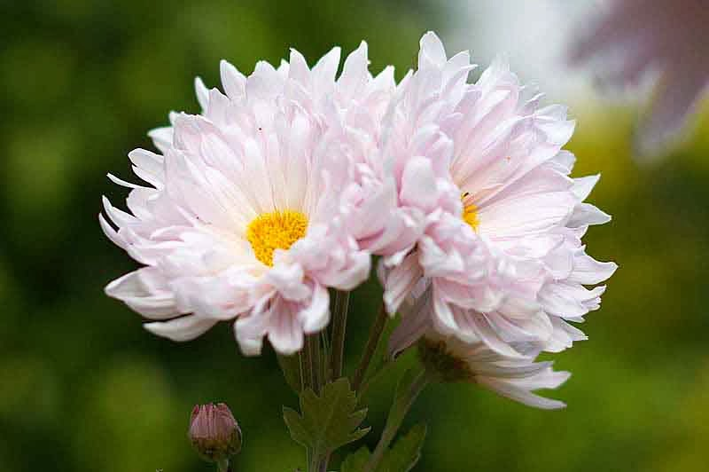 Off white or pinkish and yellow chrysanthemum, flower