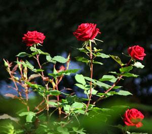 Ciri khusus tumbuhan mawar