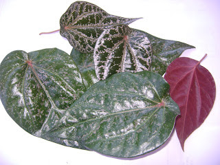 manfaat herbal daun sirih merah