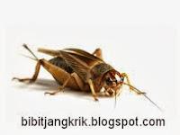 1. Pengenalan Tentang Jangkrik (About Crickets / Grillus)