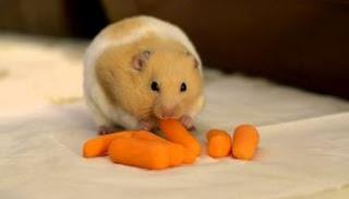 Makanan Hamster Biar Cepat Besar