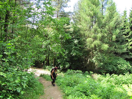 W partiach przywierzchołkowych szlak wchodzi na leśną ścieżkę.