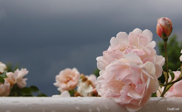 Rose sous un ciel d'orage