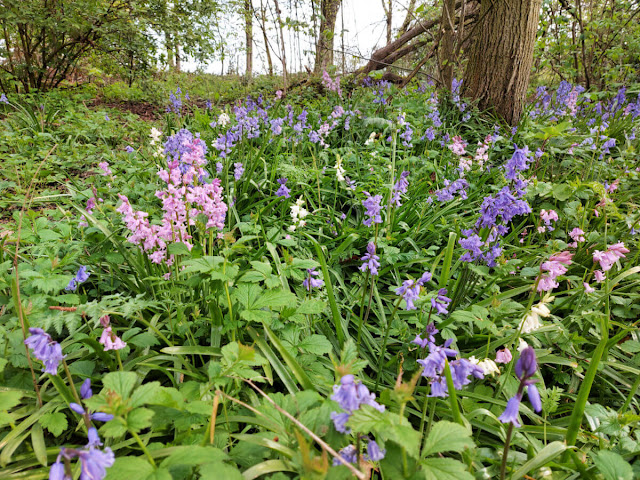 A closer picture of the pink, white and bluebells in the woods