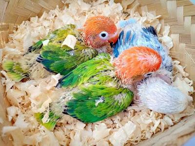Apakah Lovebird Biola Green Masih Layak di Ternak di Tahun 2019 ??