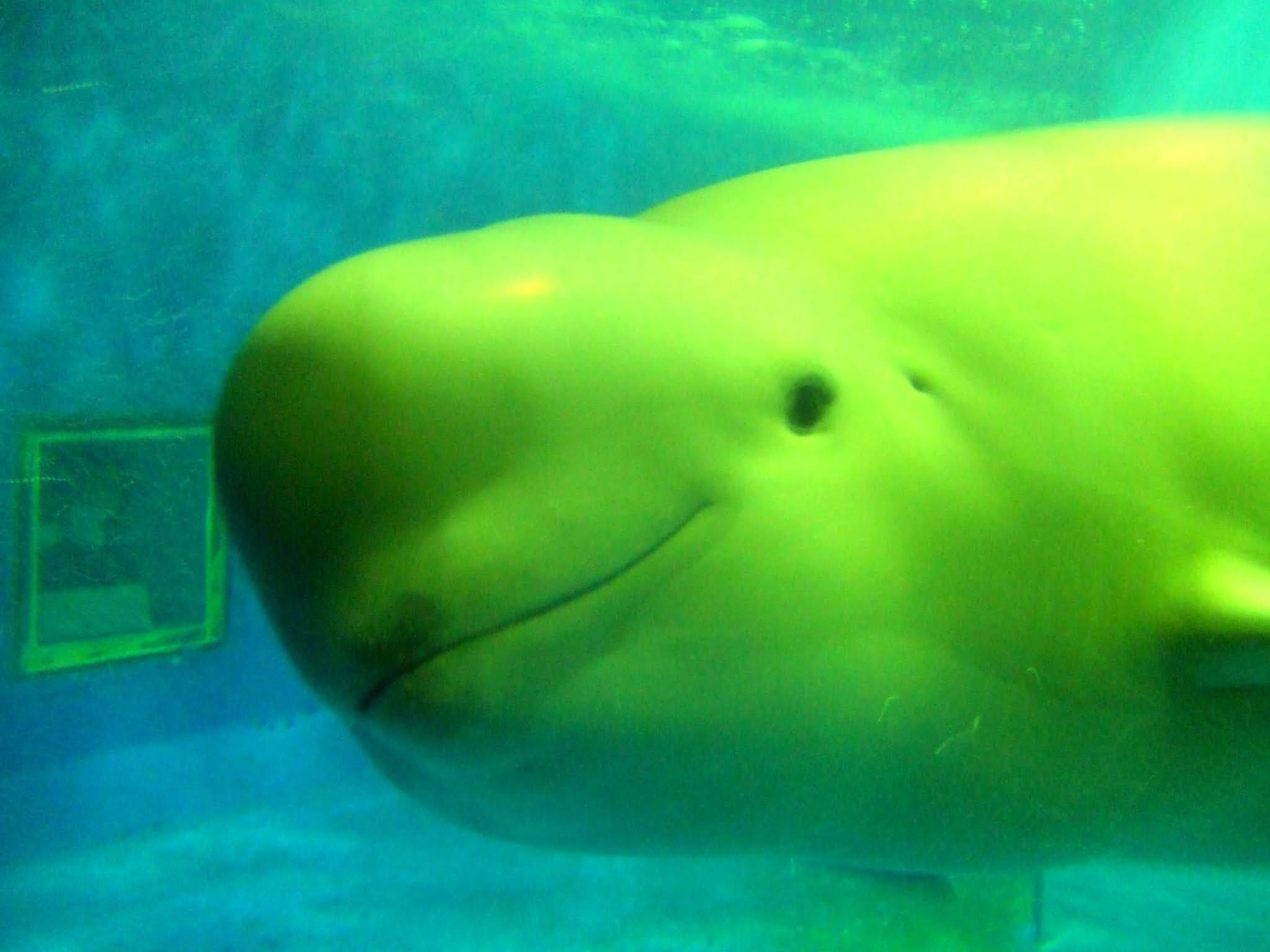 斜め横を向いて微笑む水族館のスナメリの写真素材です。