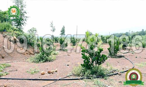 Một khu vườn cây ăn quả đã được lắp đặt hệ thống tưới nhỏ giọt 3A