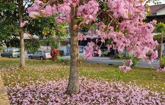 Cantiknya Pokok 'Sakura' Malaysia Berbunga Lagi