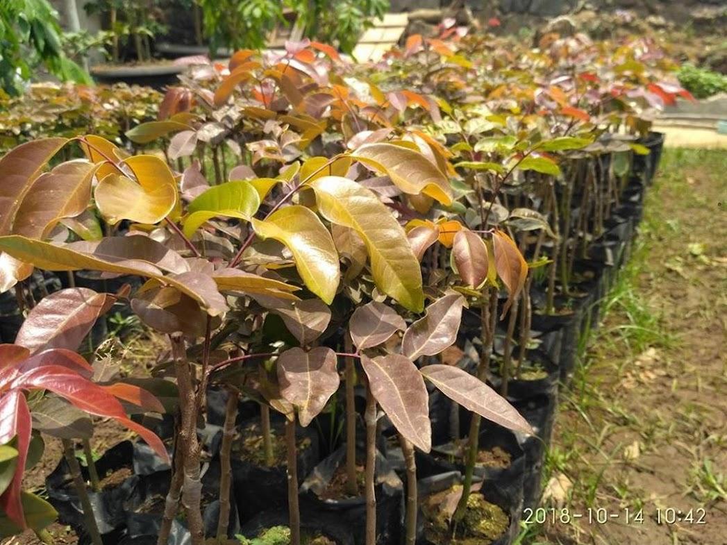 Bibit tanaman klengkeng merah super cepat berbuah Mojokerto