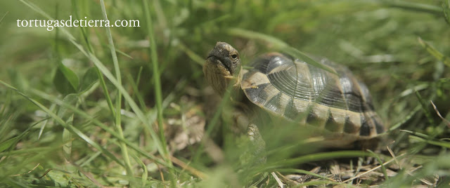 Tortuga mora juvenil de dos años mirando a cámara