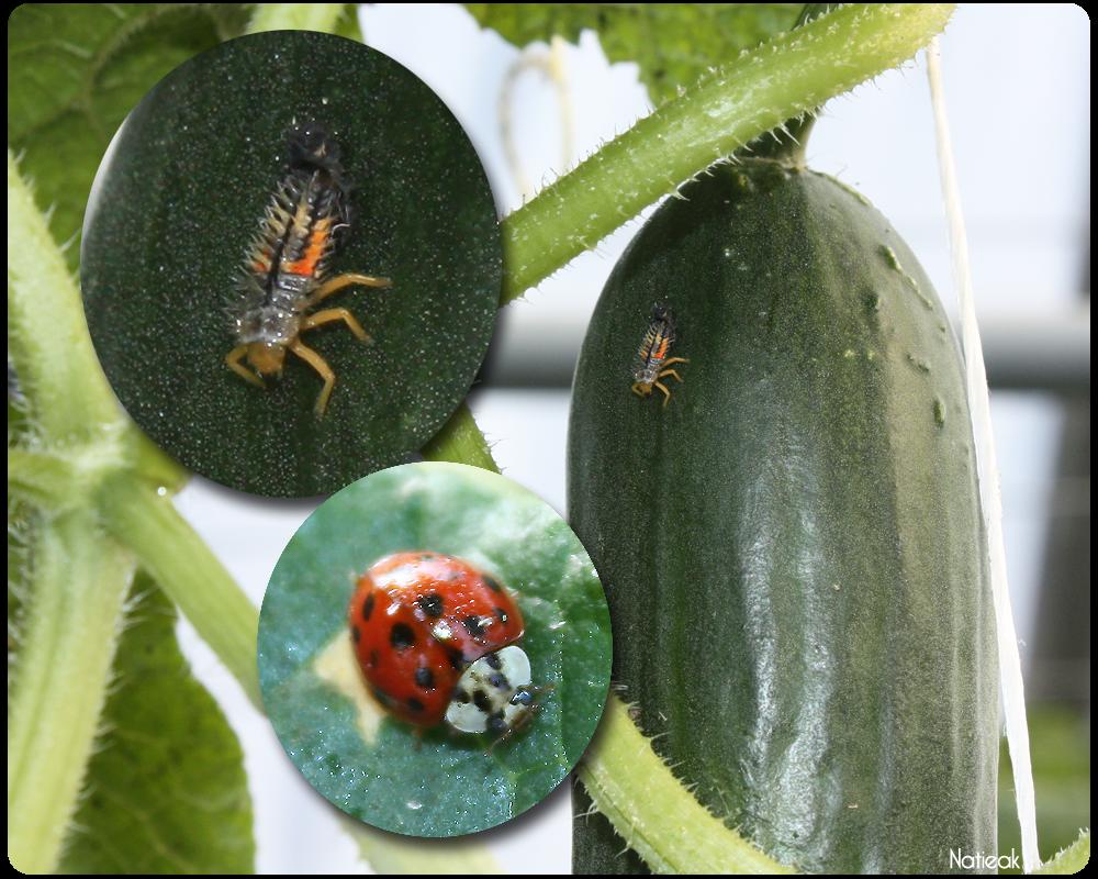 coccinelles et larvee de la ferme  de Servigny