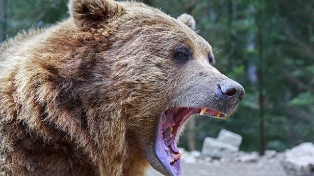 Többször is medvét láttak a Bükkben