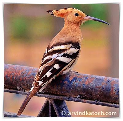 Bird, Indian bird, Hoopoe
