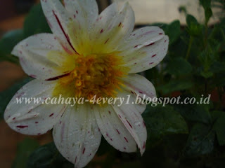 dahlia fireworks white in tropic