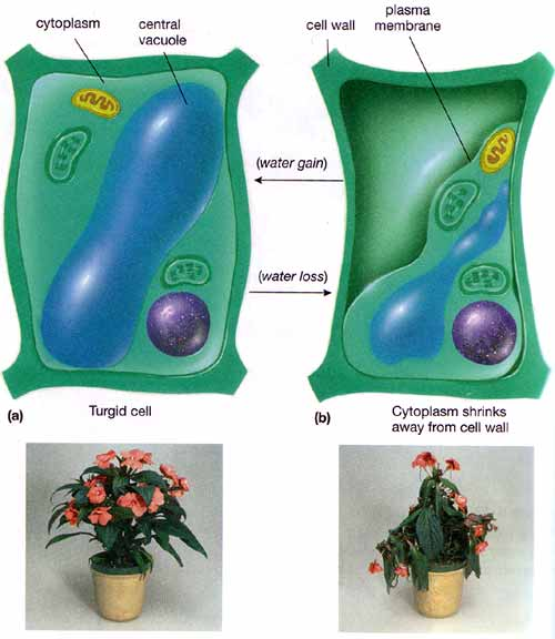 Vacuole and water management
