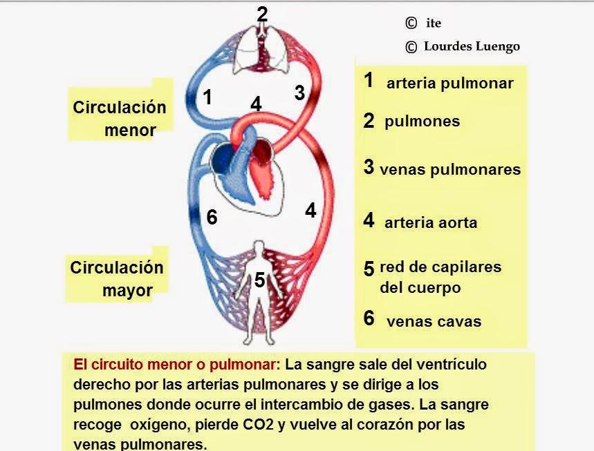 Circuito Mayor : Dorable corazón flujo sanguíneo animación viñeta