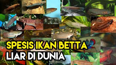 Senarai Spesis Ikan Betta (Laga) Liar