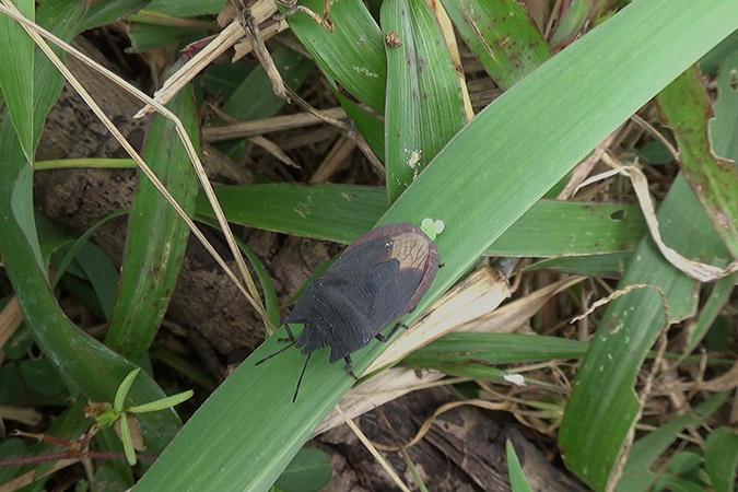 Dlium Ming bug (Tetroda minggir)