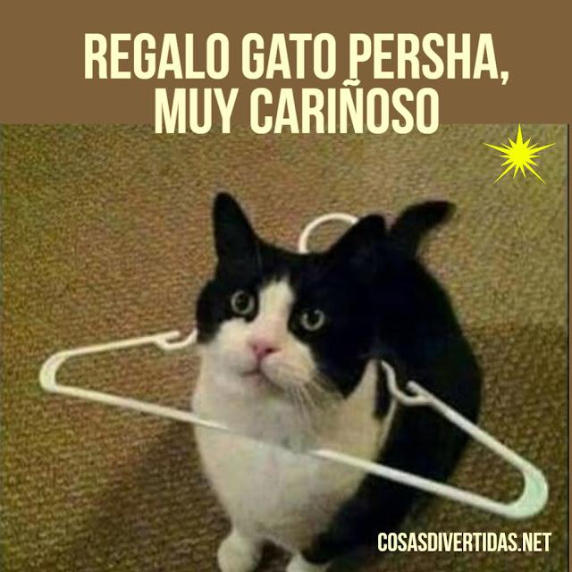 humor, meme divertido gato realo gato persha