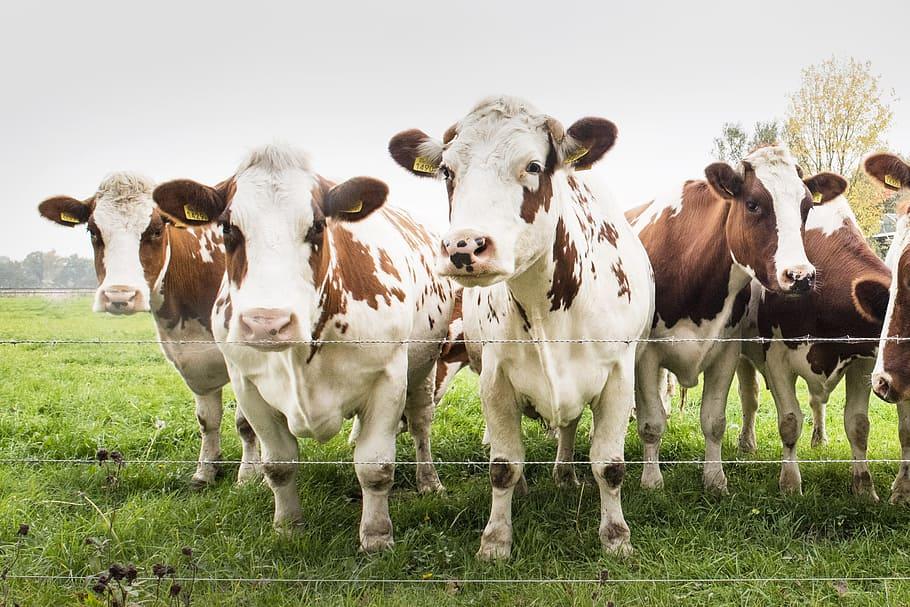 jenis sapi premium untuk kurban