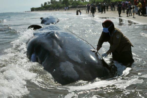 Индонезийцы вернули в океан шестерых китов застрявших на мелководье