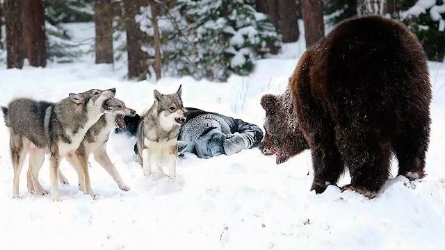 Стая яростно набросилась на медведя чтобы защитить человека, которого считала своим!