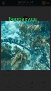 в воде находится хищная рыба барракуда на 21 уровне в игре 470 слов