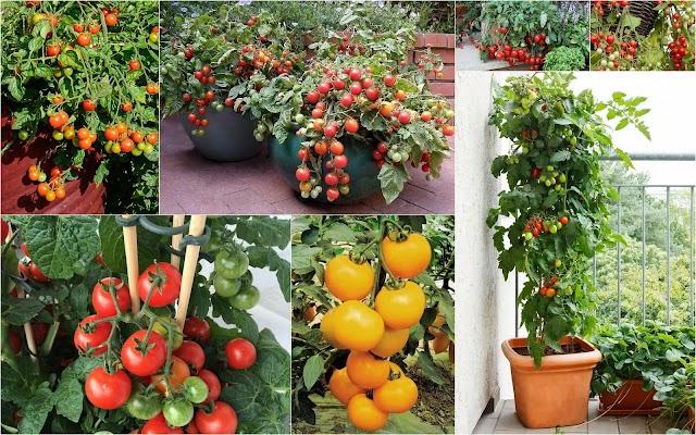 ΚΗΠΟΥΡΙΚΗ: Πως θα καλλιεργήσετε Ντοματίνια σε γλάστρες