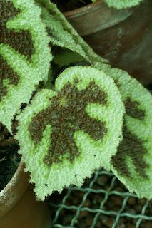 Bégonia croix de fer - Begonia masoniana