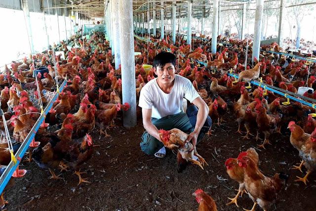 Cử nhân luật ở Quảng Trị về quê mở trại nuôi gà, lãi ròng 250 triệu mỗi năm